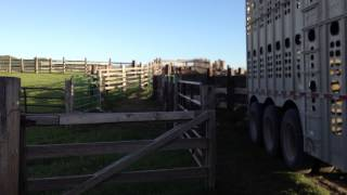 hauling load of cows with our cattle semi  to the hills after branding