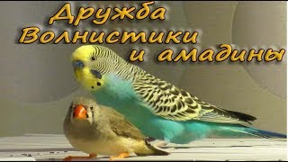 Дружба. Волнистые попугаи и амадины. Budgie and Zebra finches. Funny Parrots