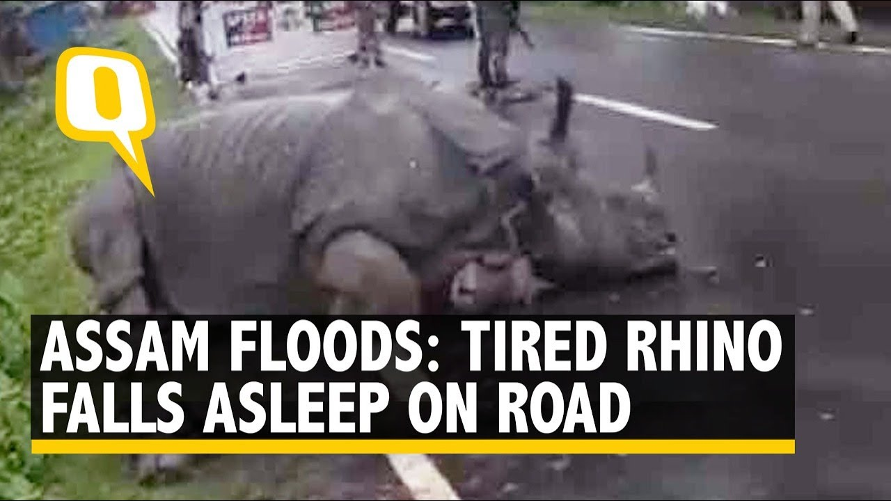 Tired Rhino Falls Asleep on Road Near Kaziranga, Had Strayed to Escape Assam Floods
