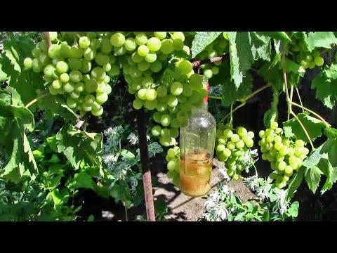 Вредители винограда. Борьба с осами на винограднике
