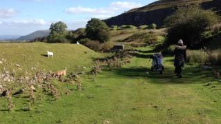 Not All Border Terriers Chase Sheep........