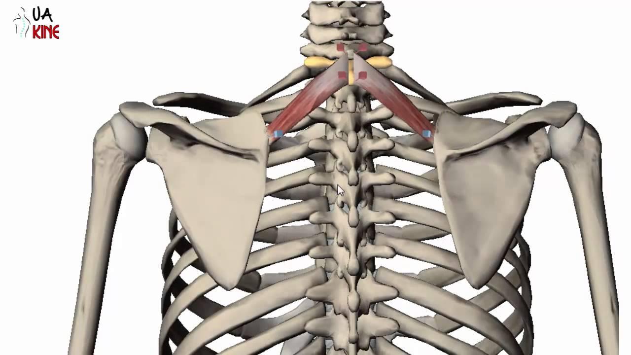 Anatomía Romboides Menor (Características) - YouTube