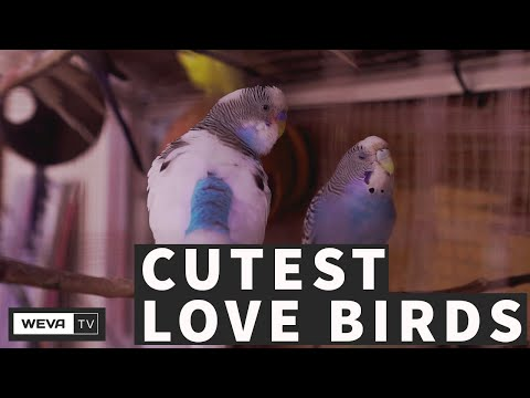 FACTS ABOUT LOVEBIRDS | Basic Facts About These Feisty Little Birds!