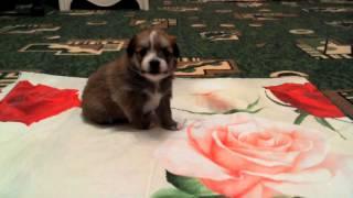 Милый щенок(Сначала она рычит а потом скулит., 2015-12-26T10:18:54.000Z)