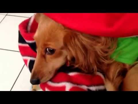Clover the mini gold/red long haired dachshund escapes from a New Jersey Devils blanket