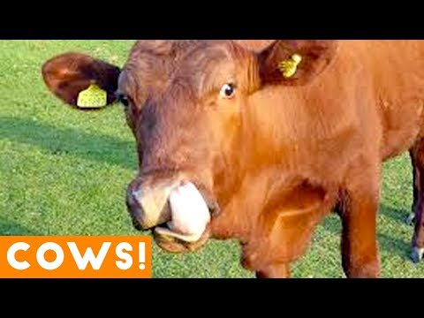 Funniest Cow Compilation September 2018 | Funny Pet Videos