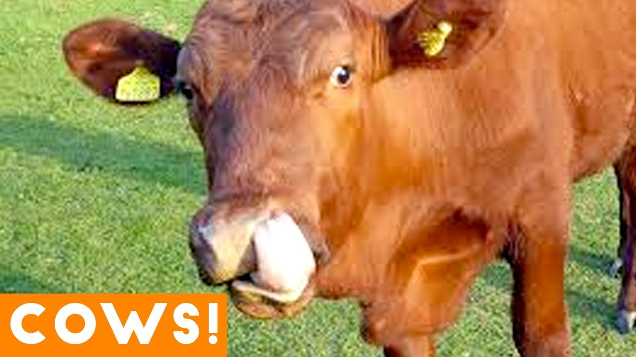 Download Funniest Cow Compilation September 2018 | Funny Pet Videos