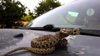 Engerek yılanı