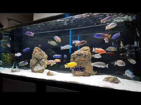 Mixed African Cichlid Tank - 238 Gallon - All Male (and my other Tanks)