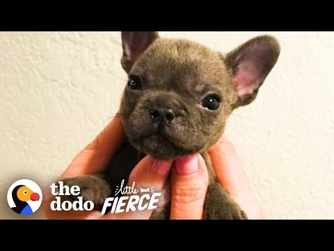 watch-this-sassy-cleft-palate-puppy-argue-with-his-mom-|-the-dodo-little-but-fierce