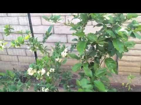 High Density Espalier Gardener - Tour of my Garden in Zone 9b - 05-30-15 Update