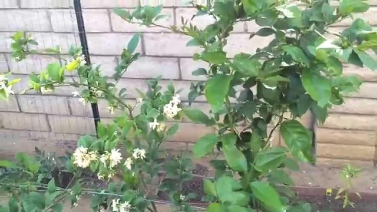 High Density Espalier Gardener   Tour Of My Garden In Zone 9b   05 30 15  Update