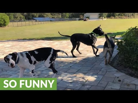 Great Danes make new German Shepherd friend
