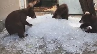 Watch a Reprieved Mama Bear Frolic in Ice Cubes With Her 3 Cubs