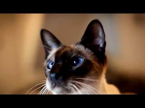 Siamese cat.Amazing Cat.Very beautiful cat