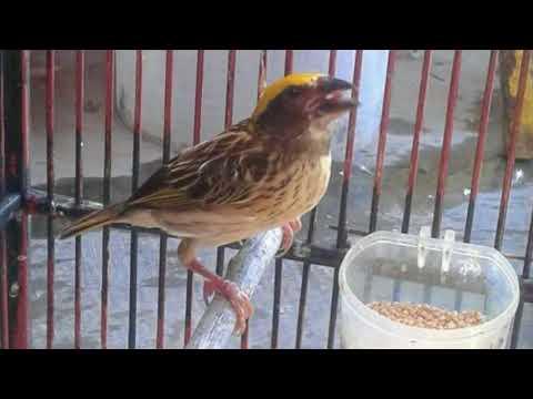 Cukup 5 Menit!!! Burung Manyar Manapun Bakal Nyaut Dan Gacor