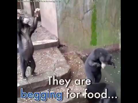 Save Sun Bears From Starving At Bandung Zoo Indonesia!
