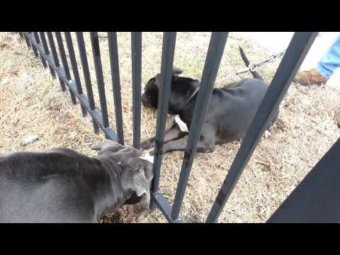 PITBULL FIGHT 'bluenose vs rednose' BAMBINO WIN