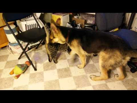 Cat with German Shepard Dog. Playing or Fighting?