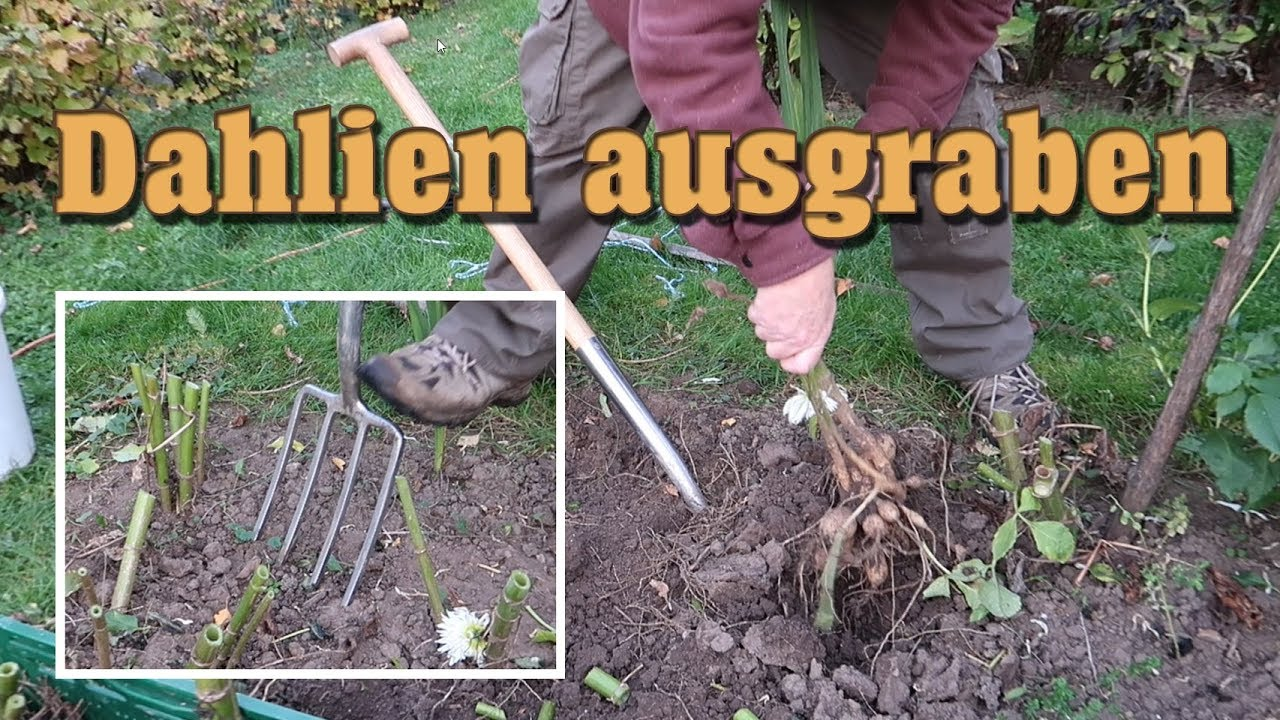 Dahlien überwintern Youtube Dahlia Dig Out For Overwintering Practical Tip