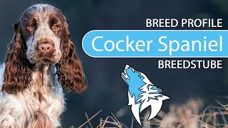 Cocker Spaniel Breed, Temperament & Training