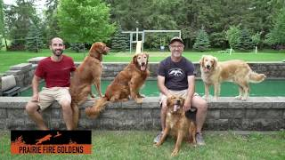 Profiling the Golden Retriever: The best allaround dog?