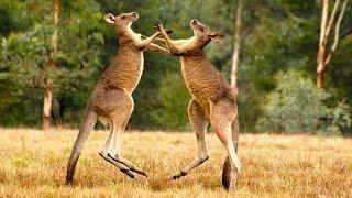 BBC ДИКАЯ ПРИРОДА Вездесущие кенгуру