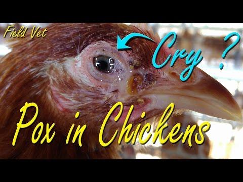 Fowl Pox, Avian Pox symptoms in Chicken, Poultry Diseases, Chicken Farming