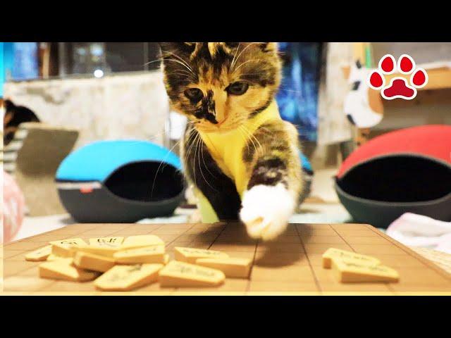 猫の将棋はこれだ!子猫と将棋くずしをしたら別のゲームになってしまった 【瀬戸のふく日記】