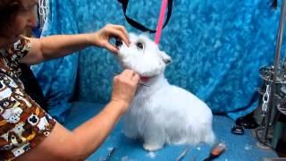 Westie Head Grooming