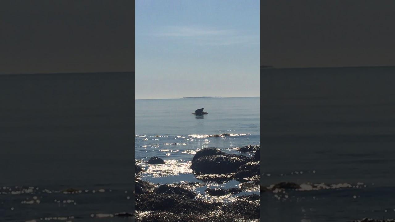Harbor Seal At Quonnie Beach Charlestown Ri