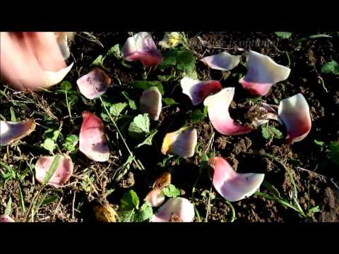 Propagating Lily Bulbs by Scaling - Ornamental Cut Flower Gardening Basics