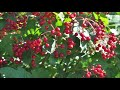 American Cranberry Bush or the Highbush Cranberry           We plant in the  Warrington Pa Area