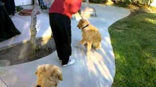 "The Golden Retriever ""soft Mouth"" Test"