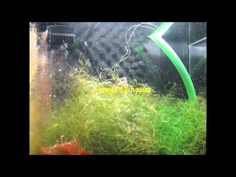Incredible Macro Algae (Chaeto) Growth in Refugium