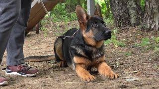 ДТ-74. Знакомьтесь, щенок немецкой овчарки Тор.