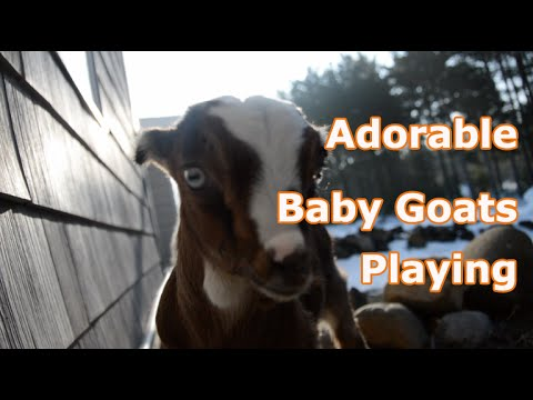 Adorable Baby Goats Playing - YouTube |Baby Goats Playing Youtube