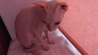 Сфинкс любит кашу. Полезная еда для сфинкса. The feeding of the Sphinx