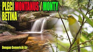 Download Lagu Monty betina dengan suara air mengalir mp3