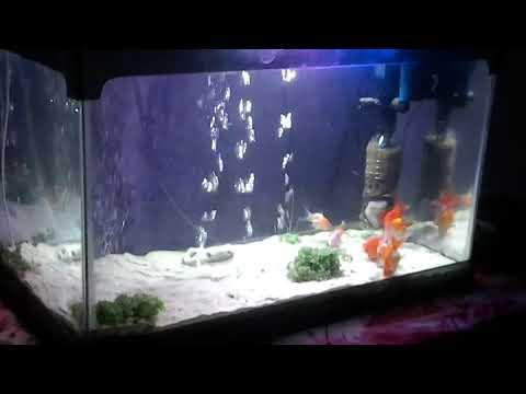 Aquarium Ikan Mas Koki Youtube