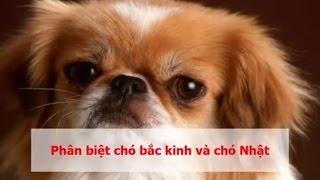 Những Cách phân biệt chó Bắc Kİnh và chó Nhật