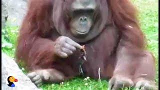 Zoo Orangutan Rescues Drowning Bird | The Dodo