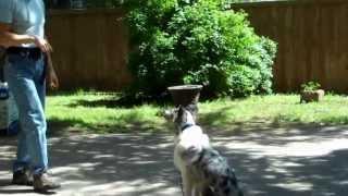 Dallas Dog Training | Redeeming Dogs | Ripley - Australian Shepherd Training | Tod Mcvicker