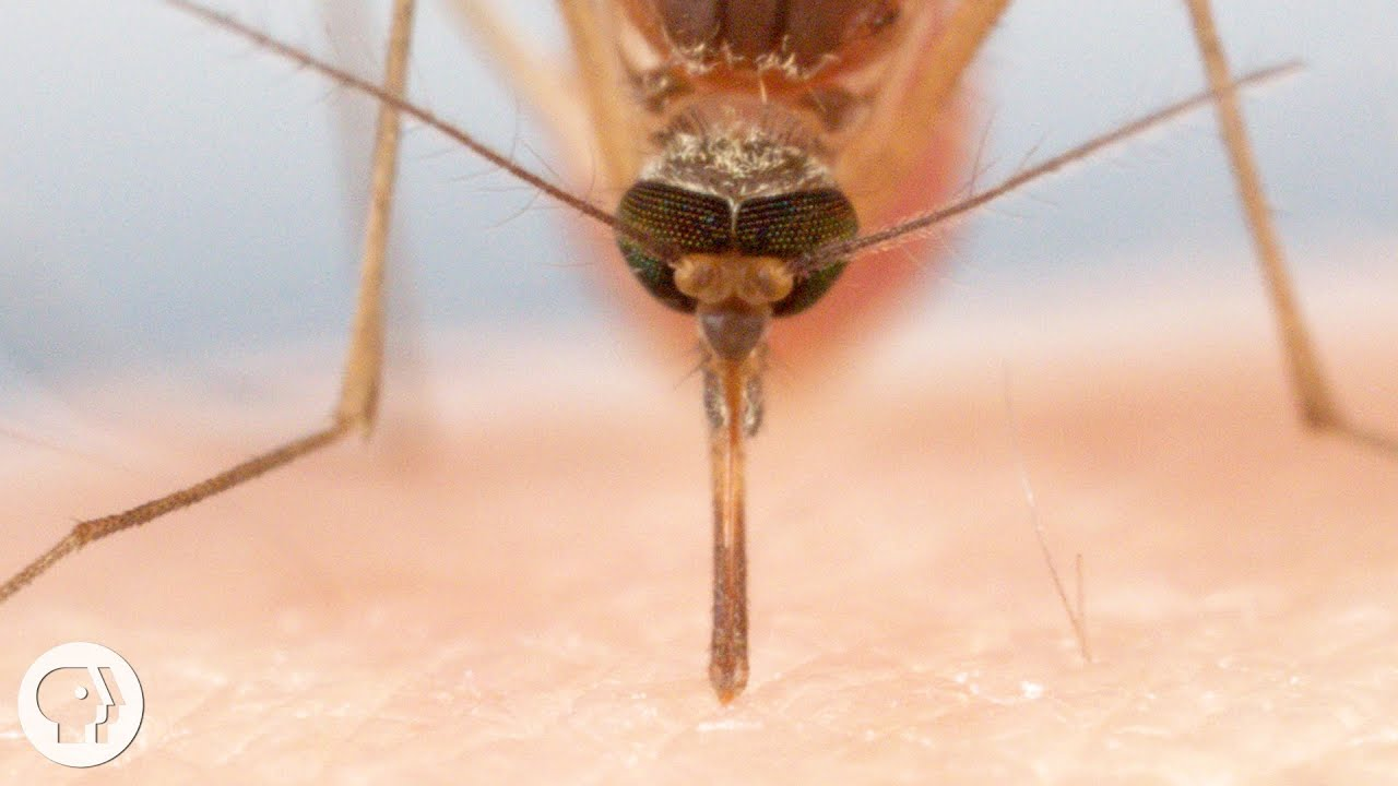 How Mosquitoes Use Six Needles to Suck Your Blood  Deep Look