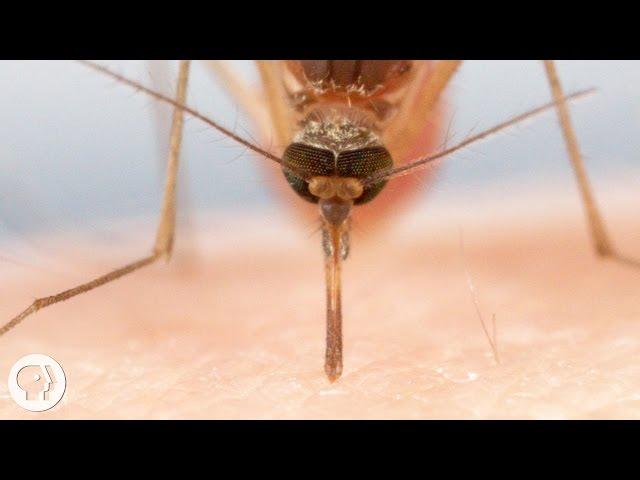 Así de desagradable es la picadura de mosquito de cerca: usan seis ...