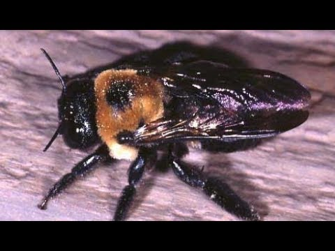 carpenter-bees-in-toms-river-buzzing-into-spring-732-504-3758-ozane.com