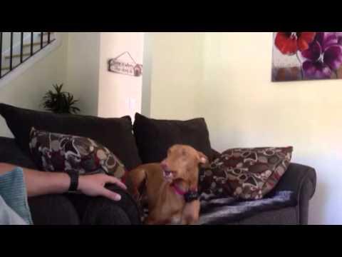 Coco the pharaoh hound