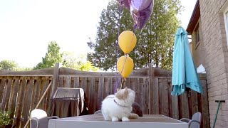 Will Cats Pop Balloons If They Are Stuck To It?