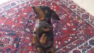 Funny Dachshund Dog Puppy Talking Video