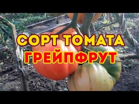 Сорт томата Грейпфрут биколор! Обзор томата
